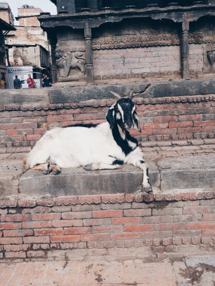 Chilled out goat